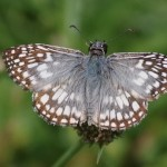 Tropical Checkered Skipper by E. Maige